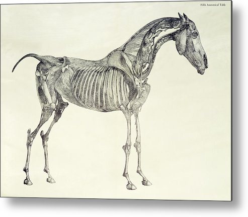 Fifth Metal Print featuring the drawing The Anatomy Of The Horse by George Stubbs