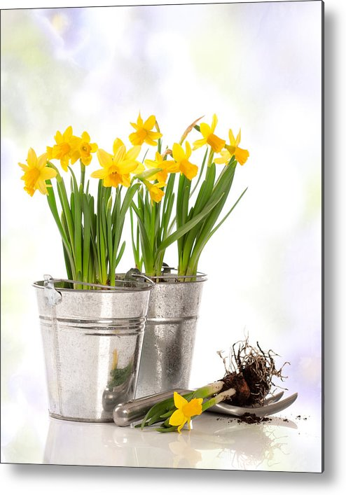 Spring Metal Print featuring the photograph Spring Daffodils by Amanda And Christopher Elwell