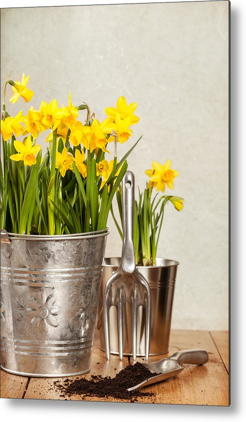 Spring Metal Print featuring the photograph Buckets Of Daffodils by Amanda Elwell