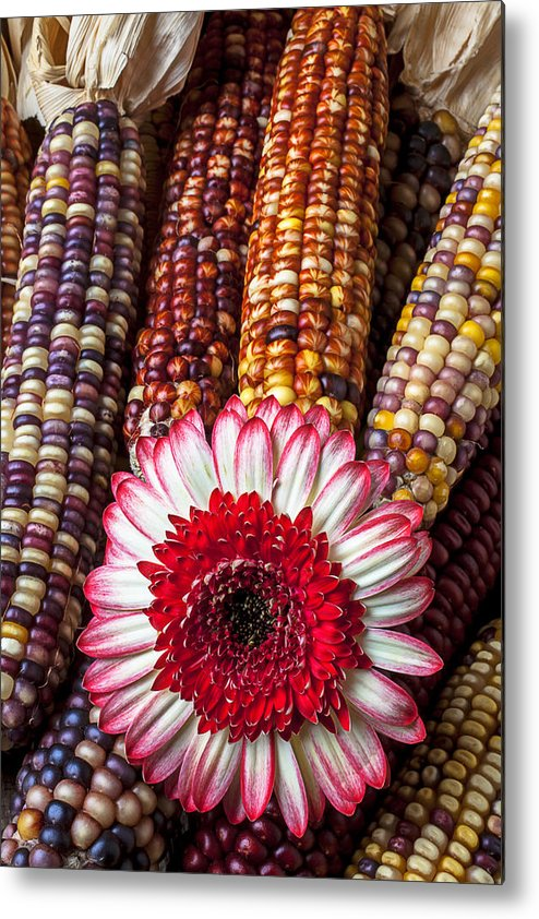 Indian Metal Print featuring the photograph Red And White Mum With Indian Corn by Garry Gay