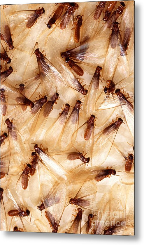 Formosan Termite Metal Print featuring the photograph Formosan Termites by Science Source