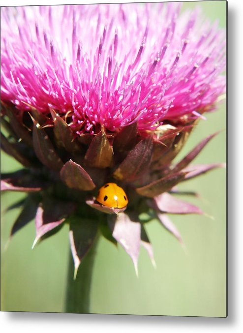 Ladybug Metal Print featuring the photograph Ladybug And Thistle by Marilyn Hunt