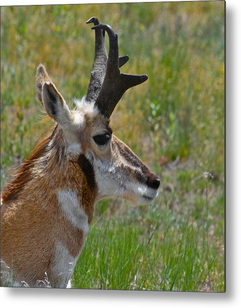 Pronghorn Metal Print featuring the photograph Pronghorn Buck Profile by Karon Melillo DeVega