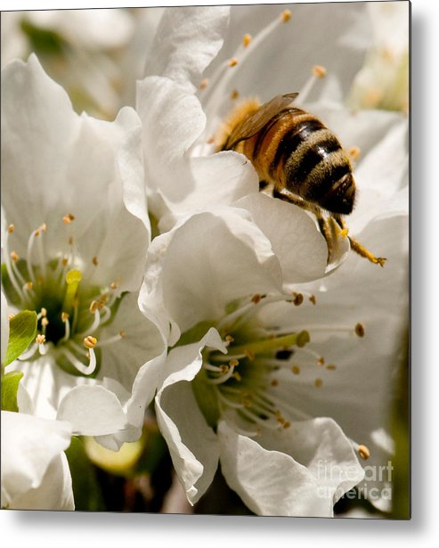 Bee Metal Print featuring the photograph Spring Time Cherry Blossoms by Artist and Photographer Laura Wrede