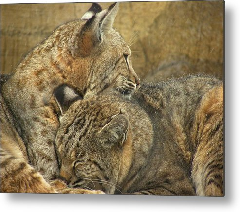Bobcats Metal Print featuring the photograph Forever by Teresa Schomig