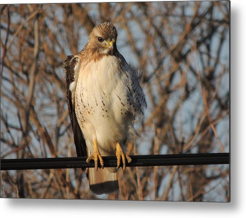 Redtail Hawk Metal Print featuring the photograph Hawk #21 by Todd Sherlock