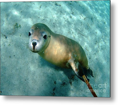 Australian Sea Lion Metal Print featuring the photograph Sea Lion On The Seafloor by Crystal Beckmann