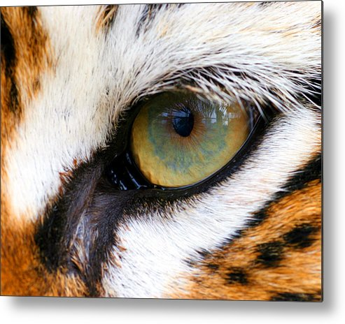 Tiger Metal Print featuring the photograph Eye Of The Tiger by Helen Stapleton