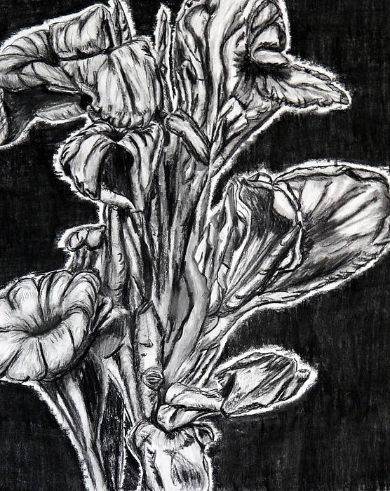 Flowers Poster featuring the drawing Canna Lily Guangzhou China by Joy Neasley