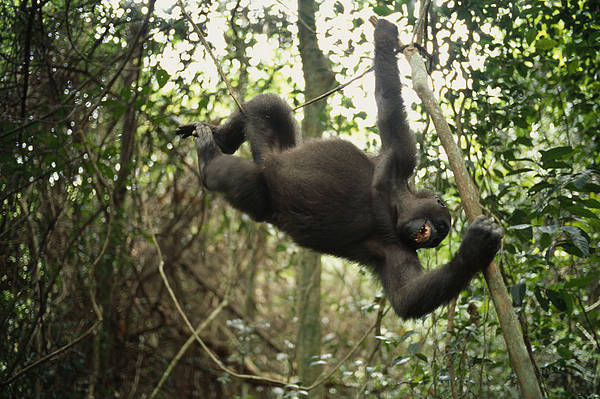 Plateaux Bateke National Park Poster featuring the photograph A Gorilla Swinging From A Vine by Michael Nichols