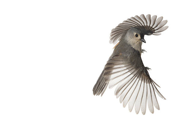 North America Poster featuring the photograph A Tufted Titmouse In Flight by David Liittschwager