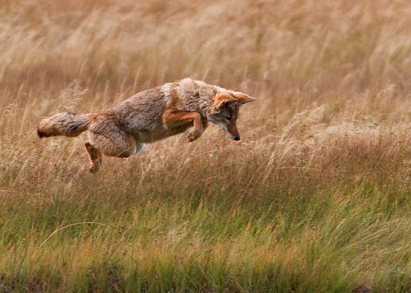 Horizontal Poster featuring the photograph Coyote Leaping - Gibbon Meadows by Photo by DCDavis