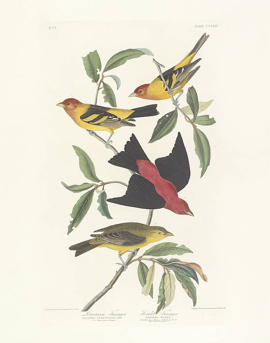 La Poster featuring the painting Tanagers by John James Audubon