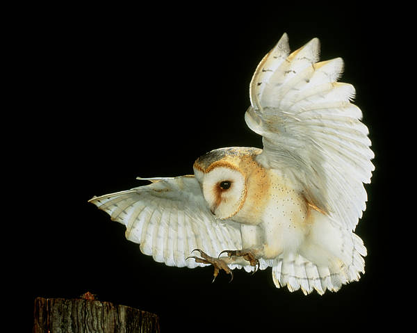 Airborne Print featuring the photograph Barn Owl by Andy Harmer and SPL and Photo Researchers