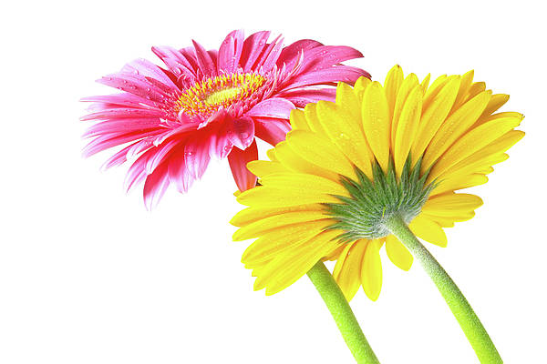 Bloom Print featuring the photograph Gerbera Flowers by Carlos Caetano