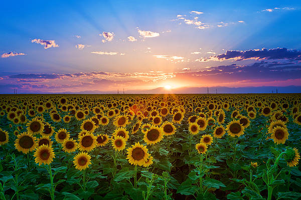 Horizontal Print featuring the photograph Sunflower by Hansrico Photography