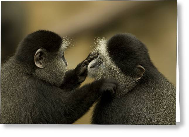 Omaha Greeting Cards - A Blue Monkey Cercopithecus Mitis Greeting Card by Joel Sartore