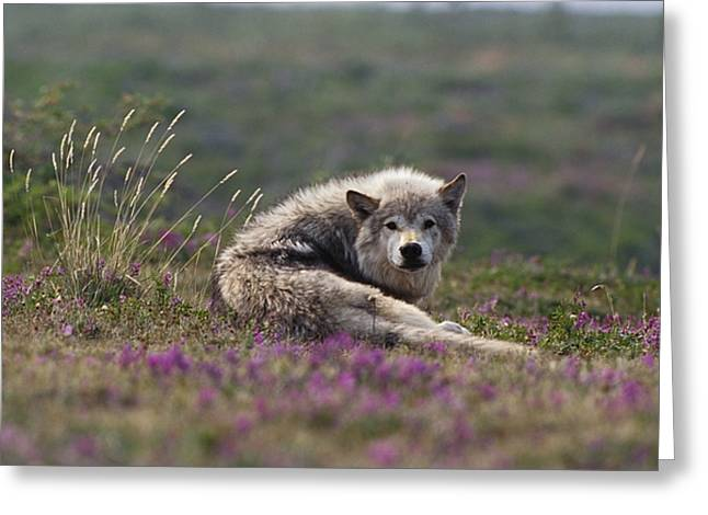 Northwest Territories Greeting Cards - An Arctic Wolf Canis Lupus Arctos Rests Greeting Card by Paul Nicklen
