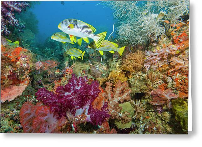 Undersea Photography Photographs Greeting Cards - Blue Banded Sweetlip Fish And Coral Greeting Card by Beverly Factor