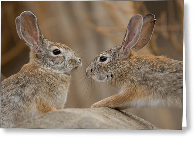 Desert Dome Greeting Cards - Desert Cottontail Rabbits Greeting Card by Joel Sartore