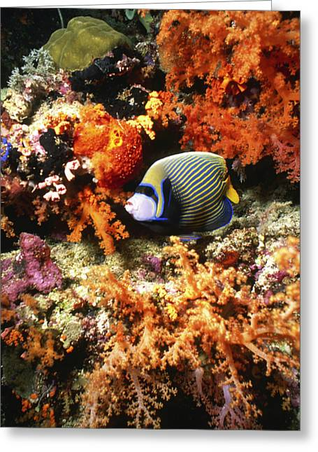 Undersea Photography Greeting Cards - Emperor Angelfish, Indonesia Greeting Card by Beverly Factor