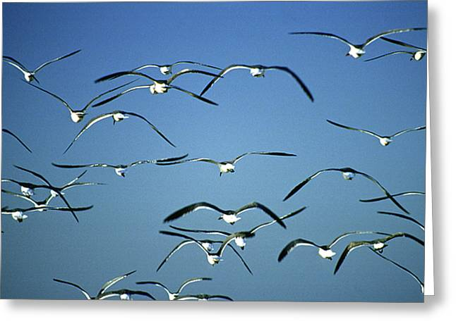 Flying Seagull Greeting Cards - Seagulls Greeting Card by Michael Mogensen