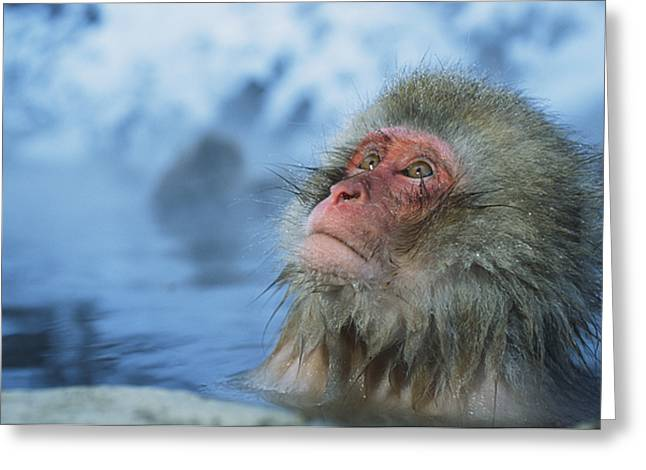 Honshu Greeting Cards - A Japanese Macaque, Or Snow Monkey Greeting Card by Tim Laman