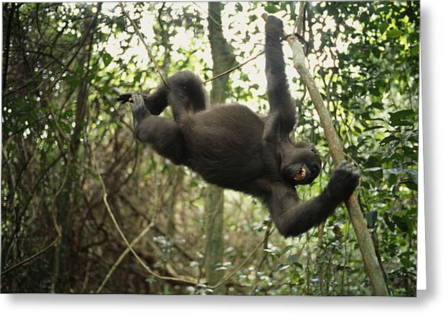 Plateau Greeting Cards - A Gorilla Swinging From A Vine Greeting Card by Michael Nichols