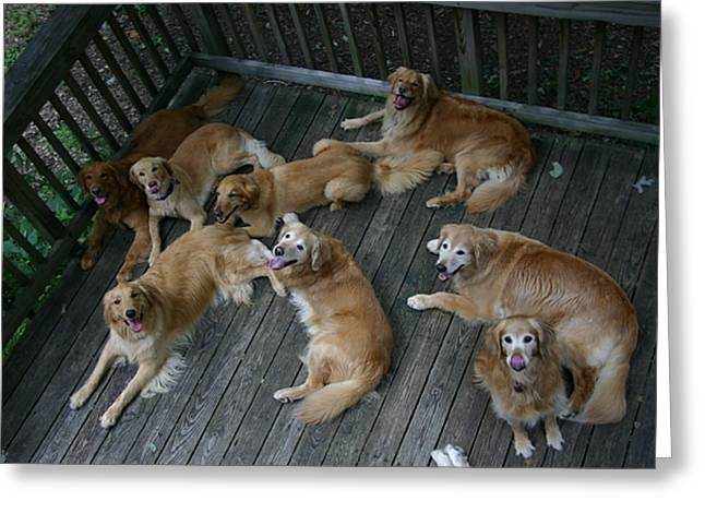 Release Greeting Cards - A Happy Group Of Golden Retrievers Greeting Card by Stephen St. John