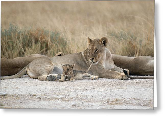 Two Tailed Photographs Greeting Cards - A Lioness Mouths A Cubs Tail To Keep Greeting Card by Des &Amp Jen Bartlett