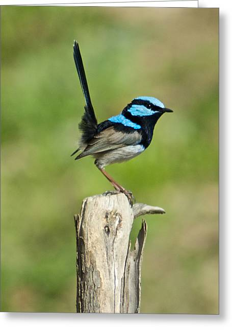 Wren Greeting Cards - A Male Superb Fairy Wren Shows Off Male Greeting Card by Brooke Whatnall