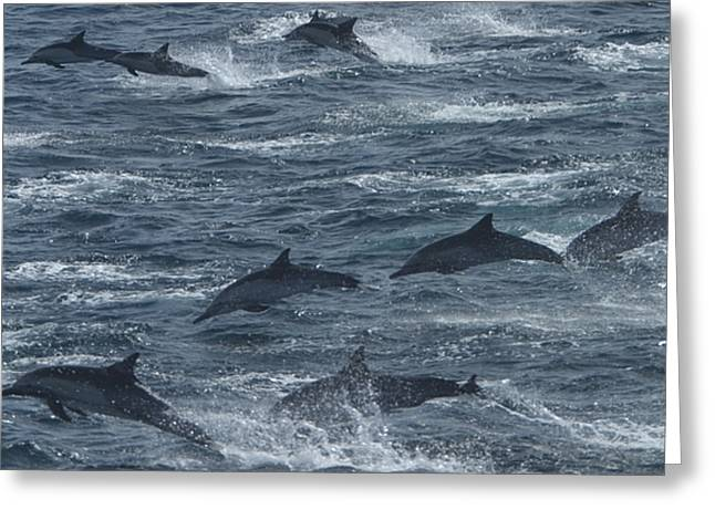 Sea Of Cortez Greeting Cards - A Pod Of Common Dolphins Leaping Greeting Card by Ralph Lee Hopkins