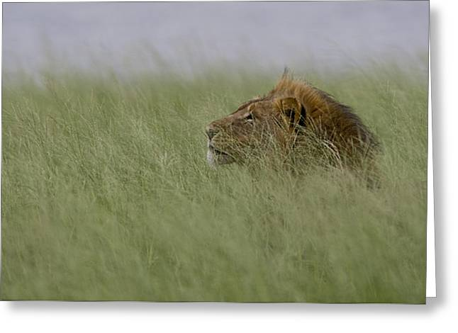 Focus On Background Greeting Cards - A Resting Lion Looks Out Into Horizon Greeting Card by Roy Toft