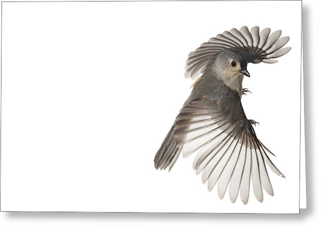 Sampling Greeting Cards - A Tufted Titmouse In Flight Greeting Card by David  Liittschwager