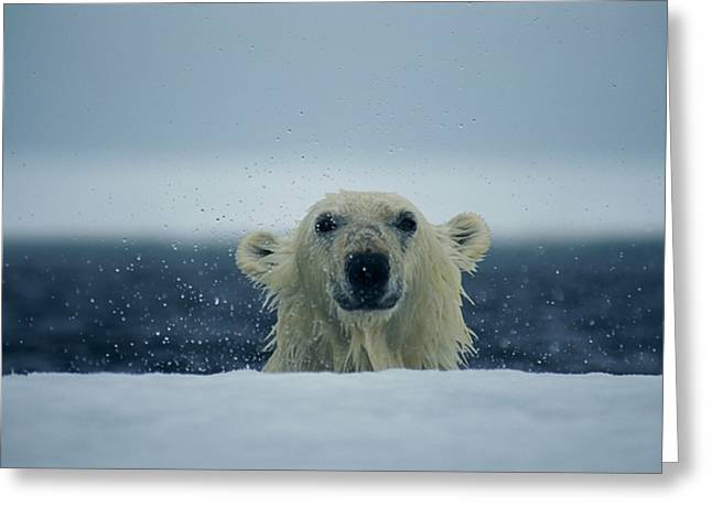 On The Edge Greeting Cards - A Wet Polar Bear Sticks His Head Greeting Card by Paul Nicklen