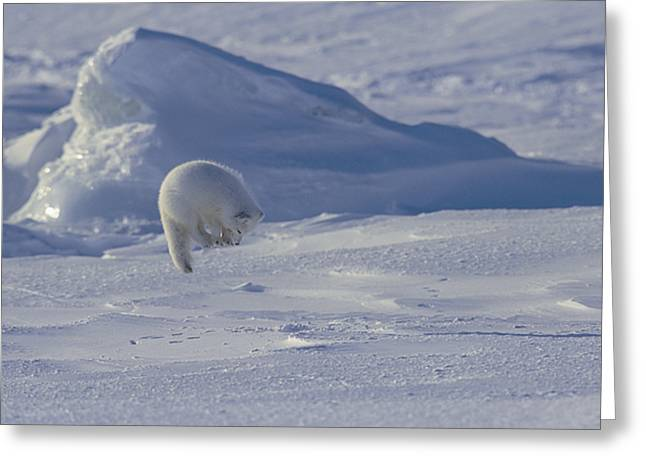 Animals In Action Greeting Cards - A White Arctic Fox Alopex Lagopus Jumps Greeting Card by Norbert Rosing