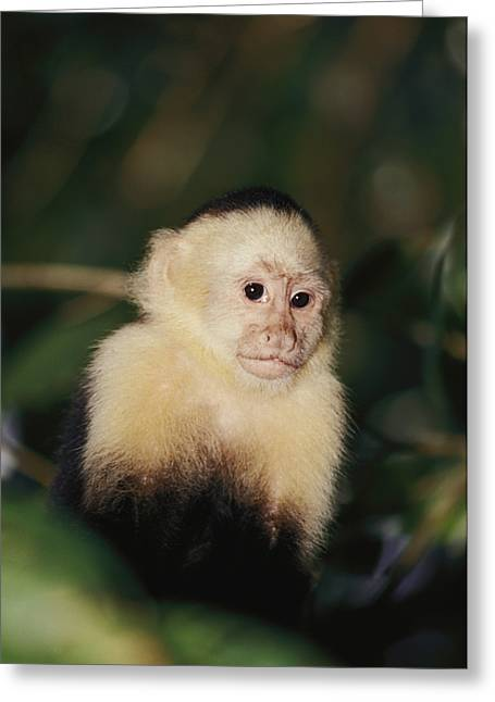 Costa Photographs Greeting Cards - A White-faced Monkey Cebus Capucinus Greeting Card by Paul Nicklen