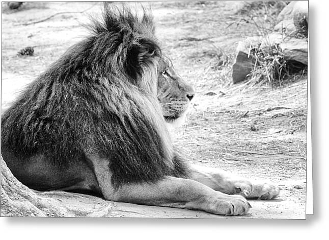 Majestic Cat Greeting Cards - Adult Male Lion Greeting Card by Scott Hansen