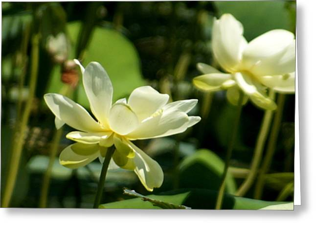 Mark Harmon Greeting Cards - American Lotus Greeting Card by Mark Holden
