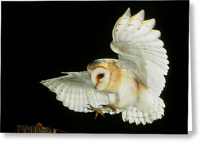 Swooping Greeting Cards - Barn Owl Greeting Card by Andy Harmer and SPL and Photo Researchers