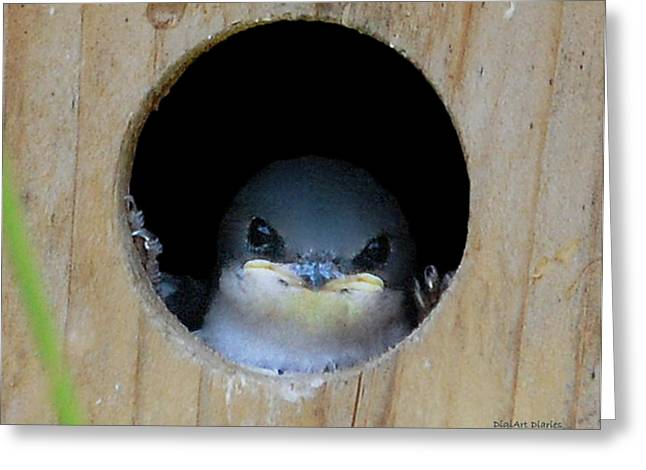 Baby Swallows Greeting Cards - Barn Swallow Chick Greeting Card by DigiArt Diaries by Vicky B Fuller