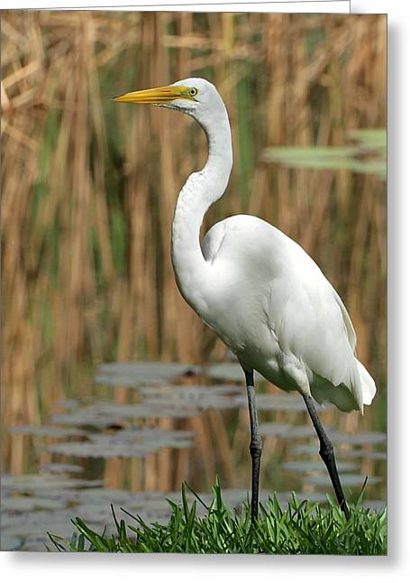 Great White Egret Greeting Cards - Beautiful Great White Egret Greeting Card by Sabrina L Ryan