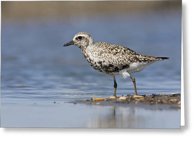 James Pyrography Greeting Cards - Black-bellied Plover Greeting Card by James Mundy