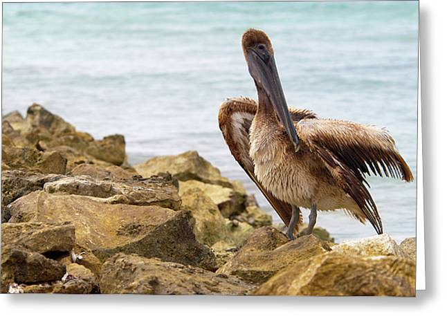Pelican Greeting Cards - Brown Pelican Greeting Card by Sebastian Musial