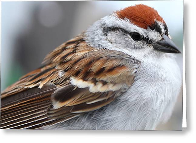 Chipping Sparrow Portrait Greeting Card by Deanna Wright
