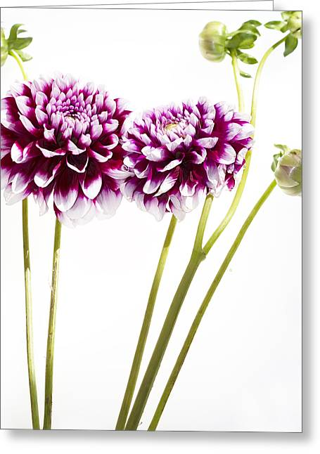 Purples Greeting Cards - Dahlias Greeting Card by Rebecca Cozart