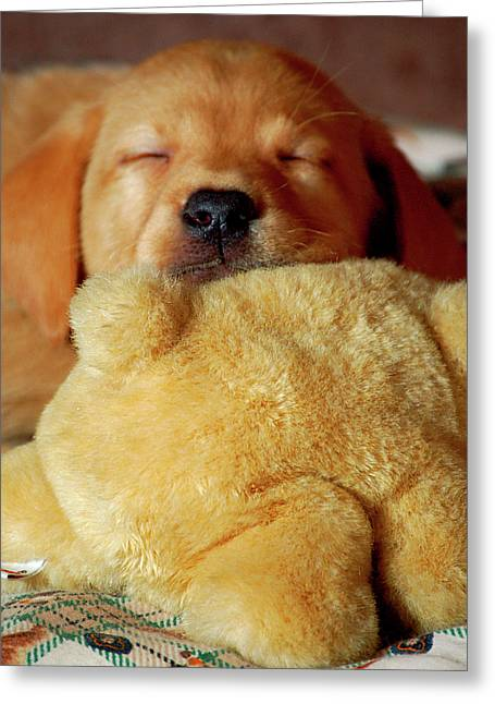 First Puppy Snooze Greeting Card by Diane E Berry