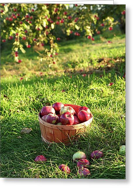 Agricultural Greeting Cards - Freshly picked apples in the orchard  Greeting Card by Sandra Cunningham