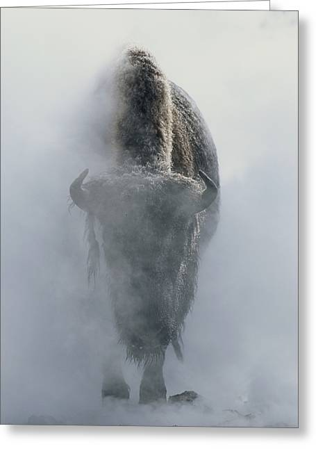 Best Sellers -  - Reserve Greeting Cards - Ghostly Bison In Steam During Winter Greeting Card by Norbert Rosing
