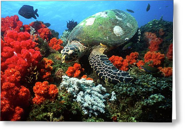 Hawksbill Sea Turtle Greeting Cards - Hawksbill Sea Turtle Swimming Greeting Card by Beverly Factor